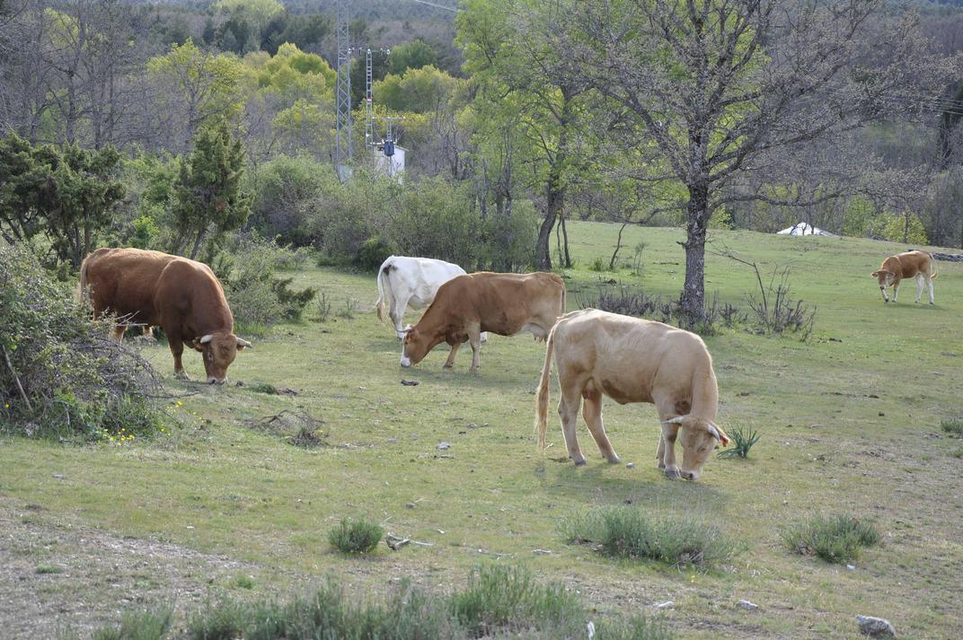 Bestiar boví de la Sierra de Guadarrama de Madrid