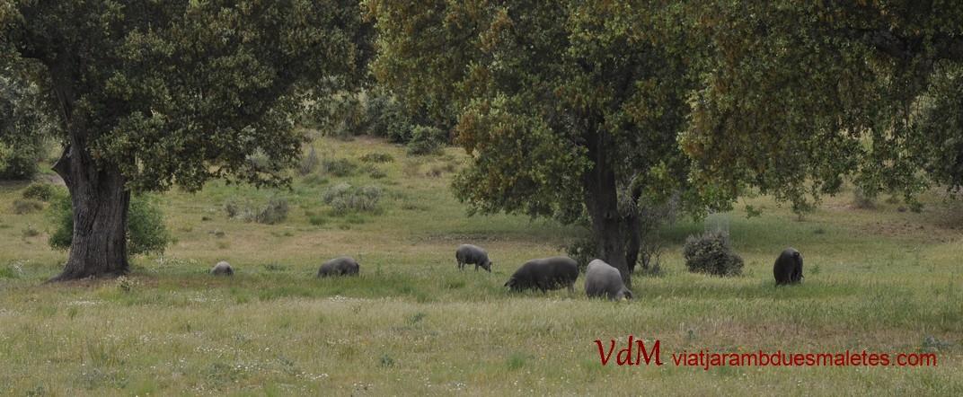 Porcs ibèrics a la Devesa de Salamanca