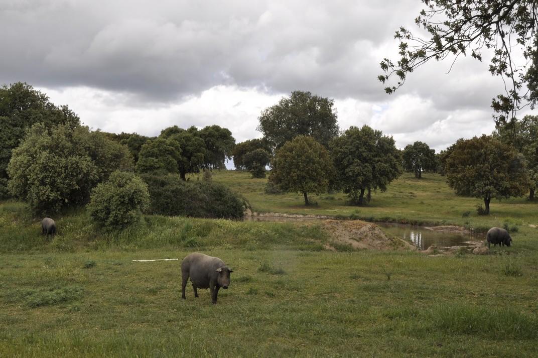 Porcs ibèrics de la Devesa de Salamanca