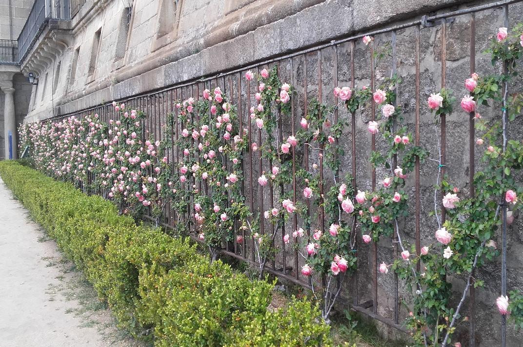 Rosers adossats a la façana sud del Monestir d'El Escorial de Madrid