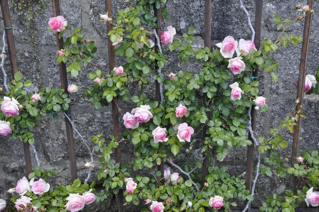 Roses del Monestir d'El Escorial de Madrid