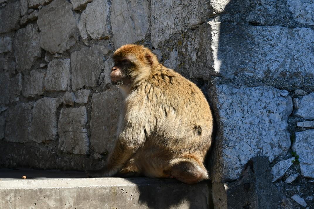 Macacos de Barbaria de Gibraltar