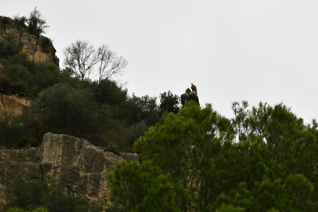 Voltors entre Miravet i Benifallet de l'Ebre
