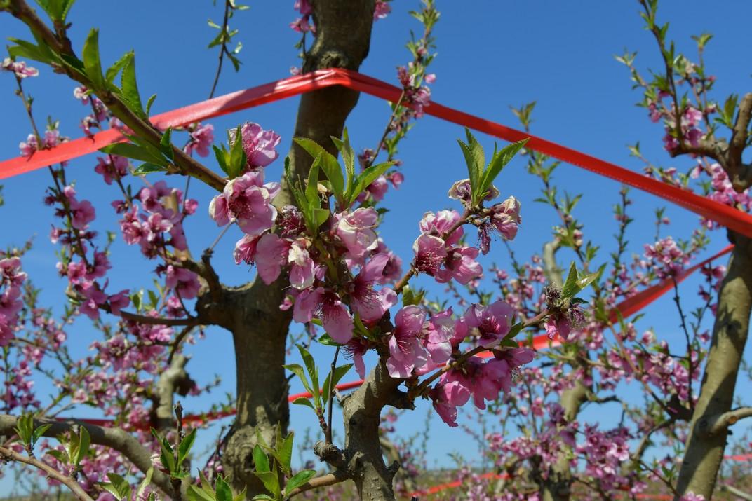 Flor del presseguer d'Aitona