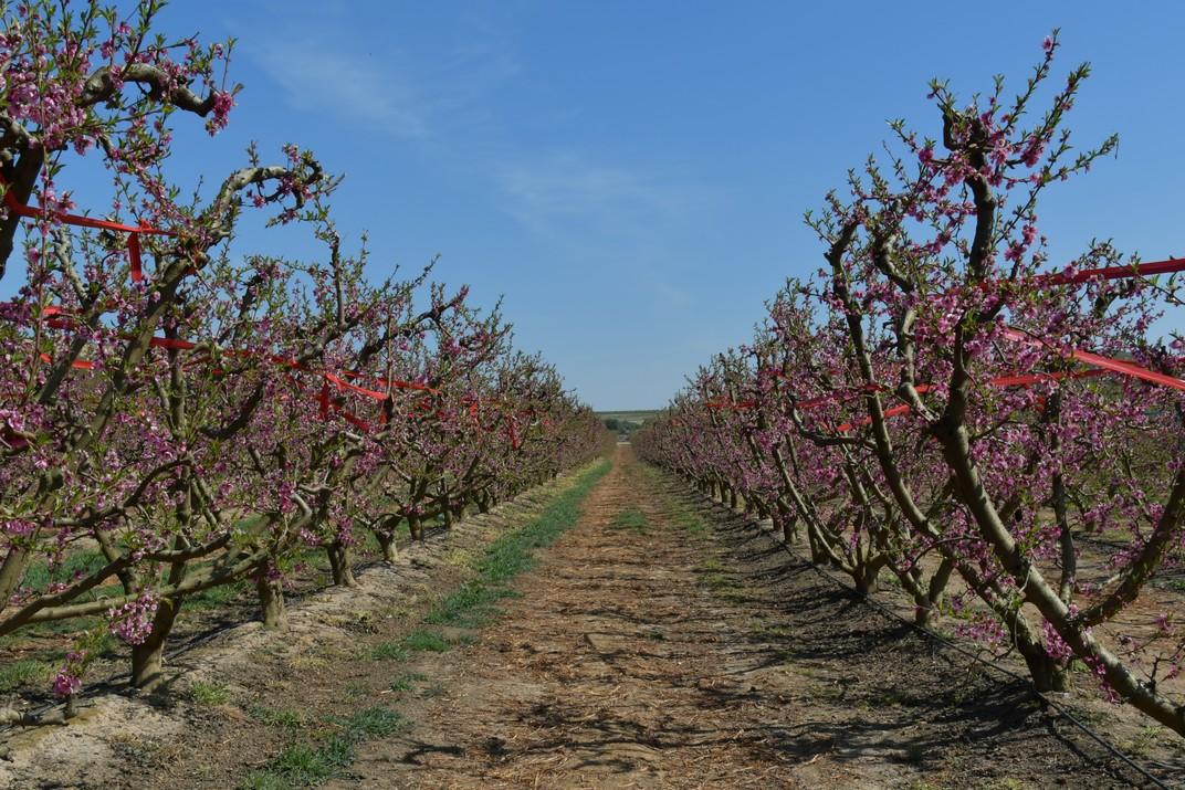 Floració dels camps de presseguers d'Aitona