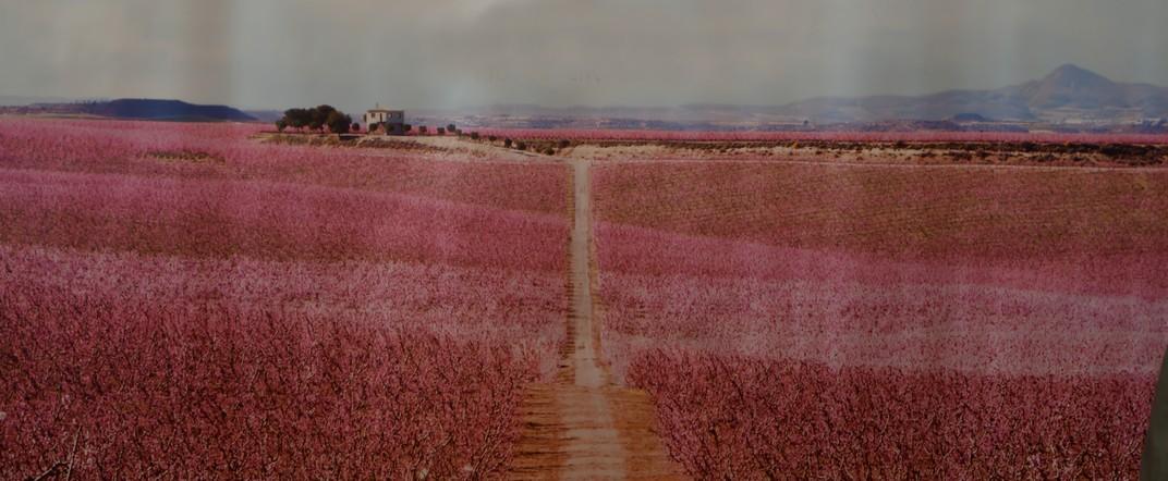 Floració dels presseguers d'Aitona