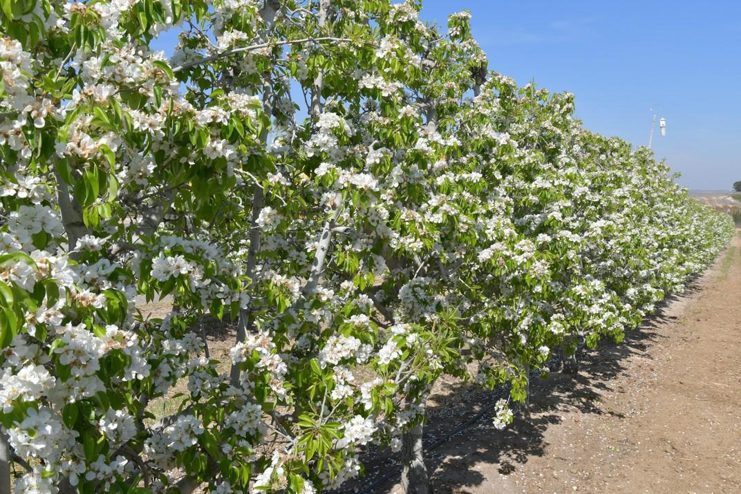 Perers en flor d'Aitona