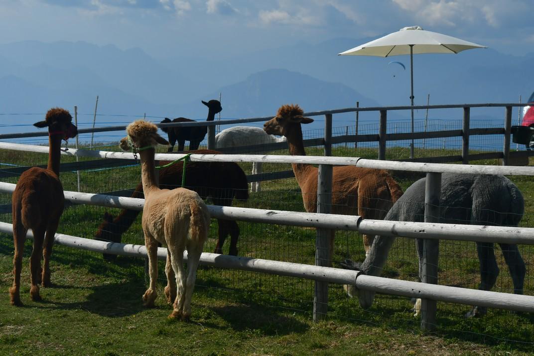 Alpaques del Mont Baldo de Garda