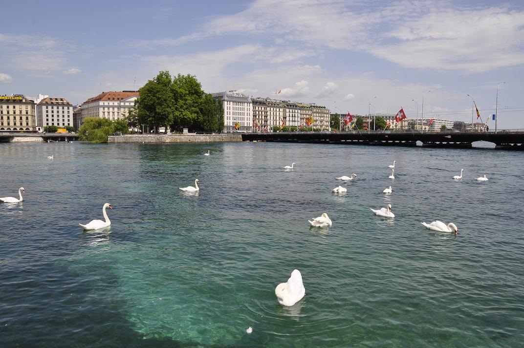 Cignes del llac Léman de Ginebra