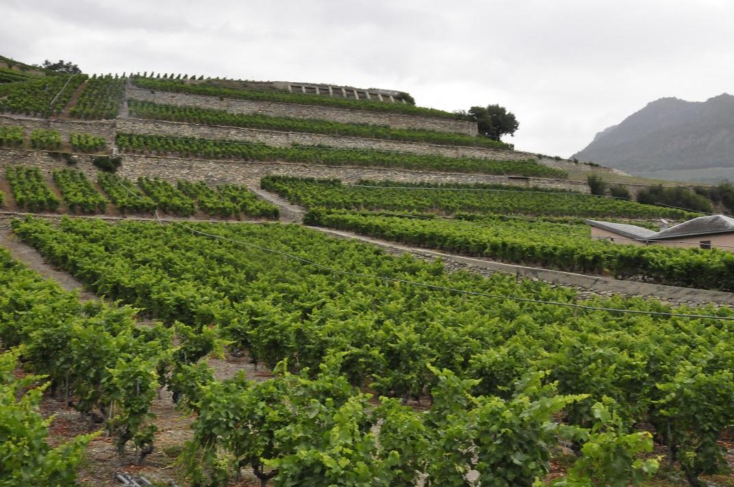 Vinyes de la Vall del Roine