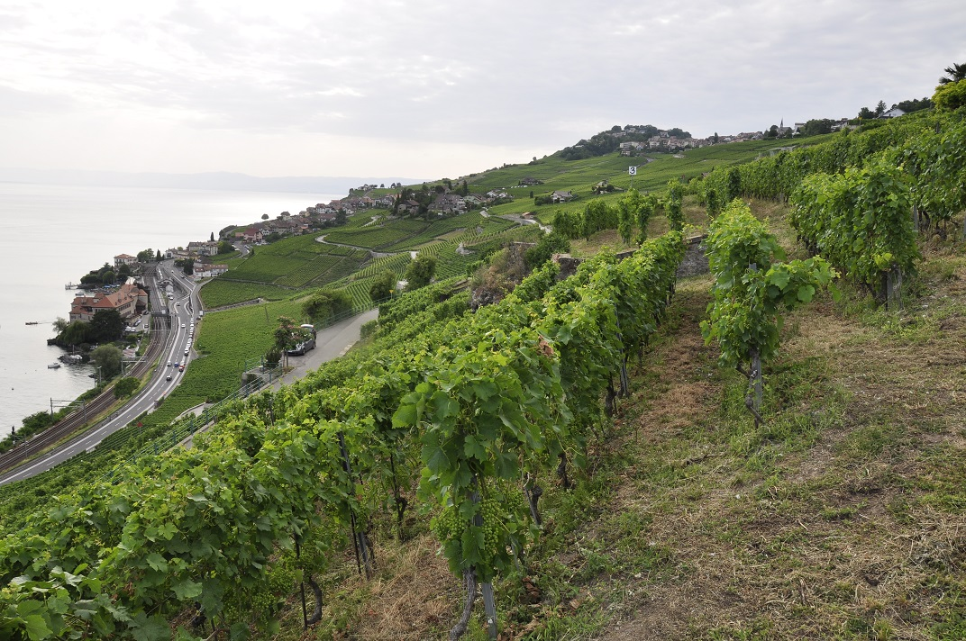 Vinyes en terrasses de la regió de Lavaux