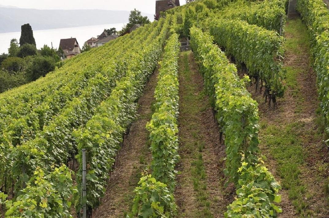 Vinyes en terrasses de Lavaux